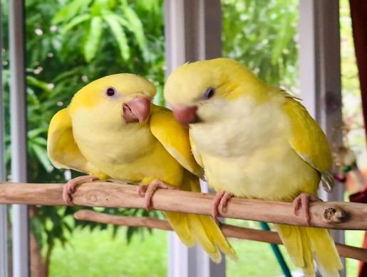 Green Quaker Parrot for sale, Ait Boubidmane -  Morocco