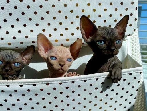 Sphynx kittes for sale, Nairobi -  Kenya