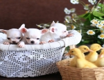 Ad: (Email : kcpuppyeu@gmail.com) Buy chihuahua puppy and mini chihuahuas dogs for sale