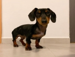 Ad: (Email : kcpuppyeu@gmail.com) Buy Dachshund puppy