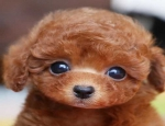 Ad: (Email : kcpuppyeu@gmail.com) Buy Poodle puppy and mini Poodles dogs for sale