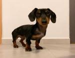 Advertentie: (E-mail: kcpuppyeu@gmail.com)  Koop een teckel puppy
