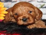 Advertentie: (E-mail: kcpuppyeu@gmail.com) Koop Poedelpuppy en mini Poedelhonden te koop