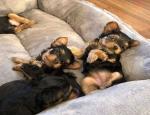Annonce : (Email : kcpuppyeu@gmail.com) Acheter des chiots Yorkshire Terrier et des mini Yorkshire Terriers à vendre