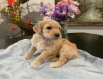 Anúncio: (Email: kcpuppyeu@gmail.com) Compre cachorrinhos Poodle e mini cachorros Poodles para venda