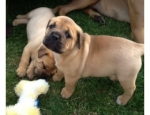 Bullmastif Puppies