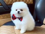 healthy Pomeranian puppies available for rehoming