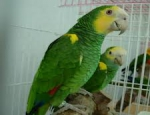 Yellow Shouldered Amazons for Sale